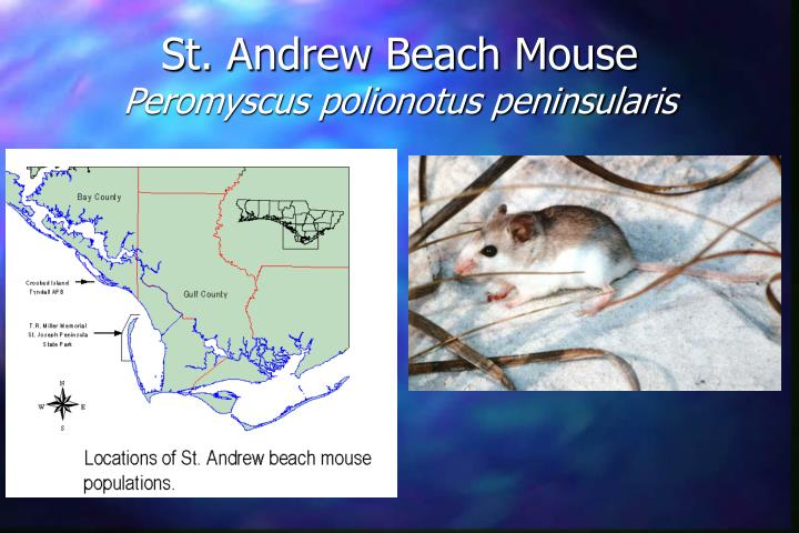 St. Andrew Beach Mouse