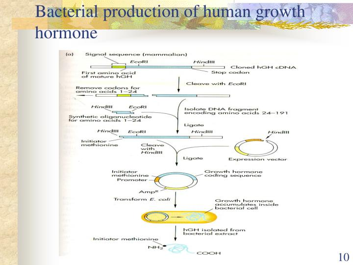 Bacterial production of human growth hormone
