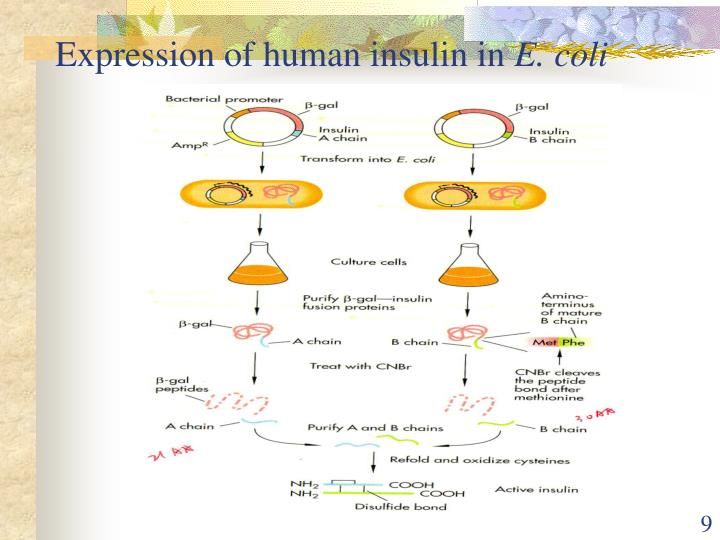 Expression of human insulin in
