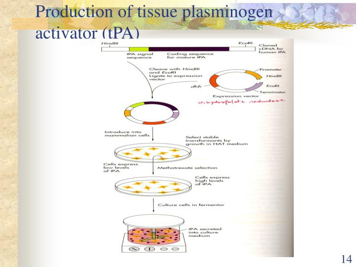Production of tissue plasminogen activator (tPA)