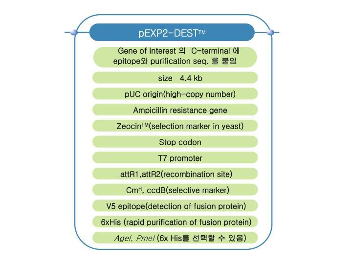 pEXP2-DEST