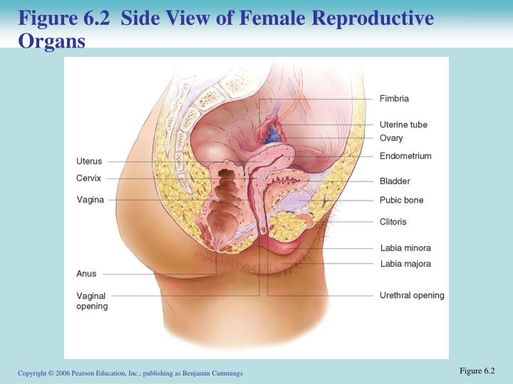 Figure 6.2  Side View of Female Reproductive Organs
