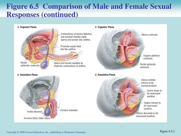 Figure 6.5  Comparison of Male and Female Sexual Responses (continued)