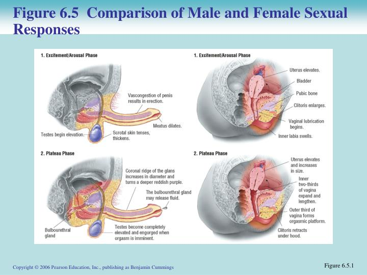 Figure 6.5  Comparison of Male and Female Sexual Responses