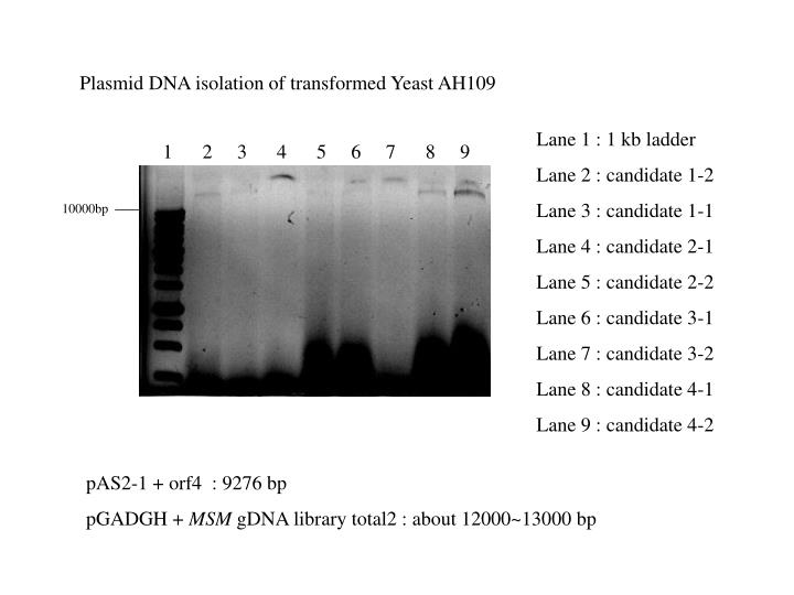 Plasmid DNA isolation of transformed Yeast AH109