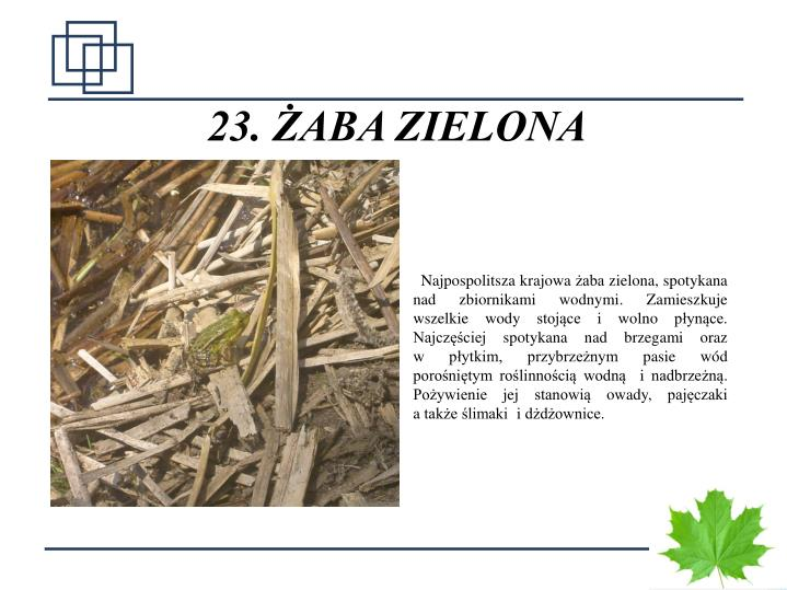 23. ŻABA ZIELONA