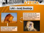lav kralj ivotinja
