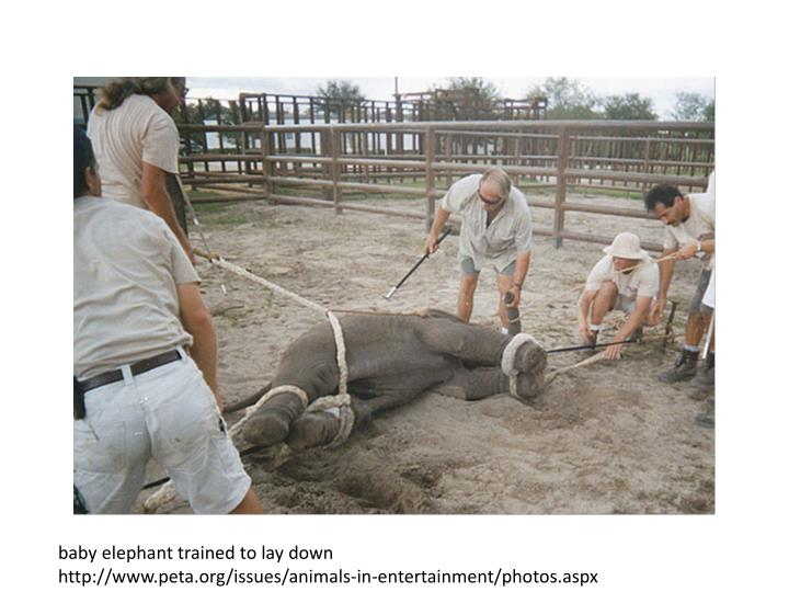 Baby elephant trained to lay down
