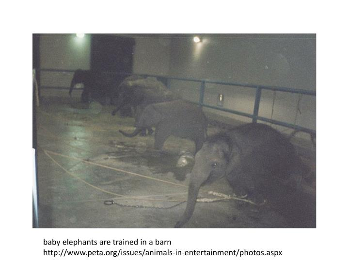 baby elephants are trained in a barn