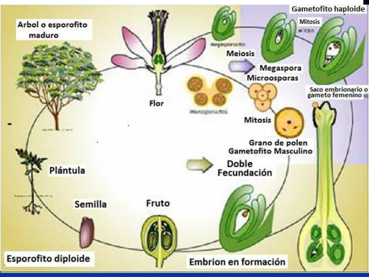 IMPORTANCIA BIOLÓGICA DE LA MEIOSIS