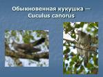 cuculus canorus