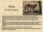 wilk canis lupus
