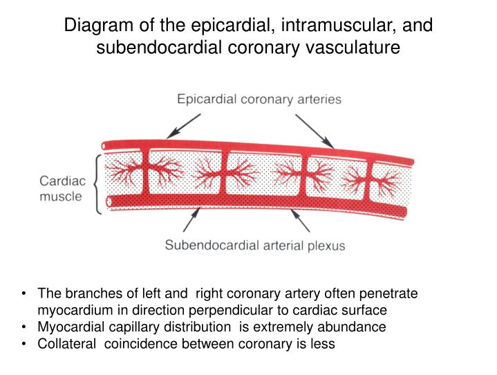 Diagram of the epicardial, intramuscular, and subendocardial coronary vasculature