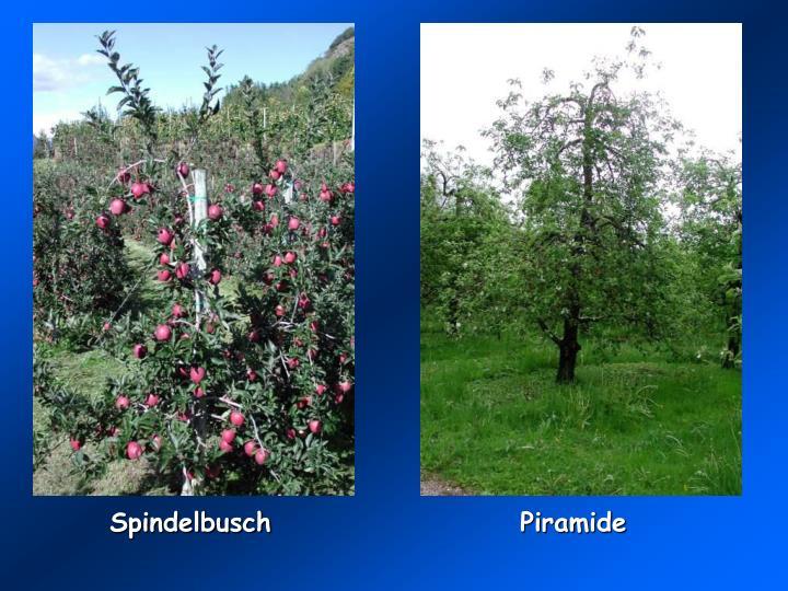 Spindelbusch
