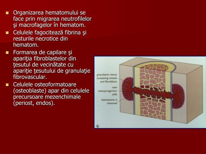 Organizarea hematomului se face prin migrarea neutrofilelor şi macrofagelor în hematom.
