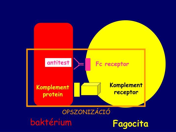 Fc receptor