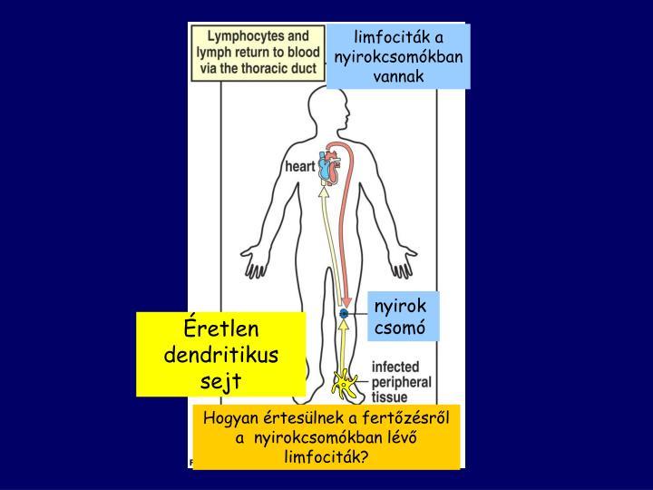 Éretlen dendritikus sejt