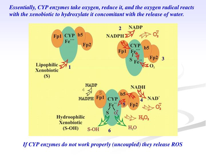 Essentially, CYP enzymes take oxygen, reduce it, and the oxygen radical reacts with the xenobiotic to hydroxylate it concomitant with the release of water.