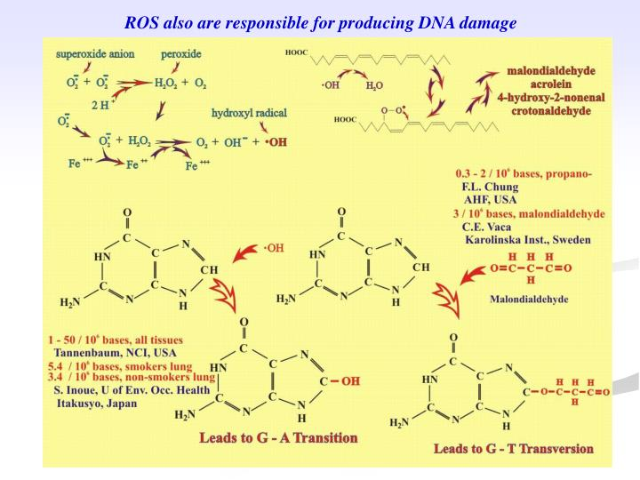ROS also are responsible for producing DNA damage