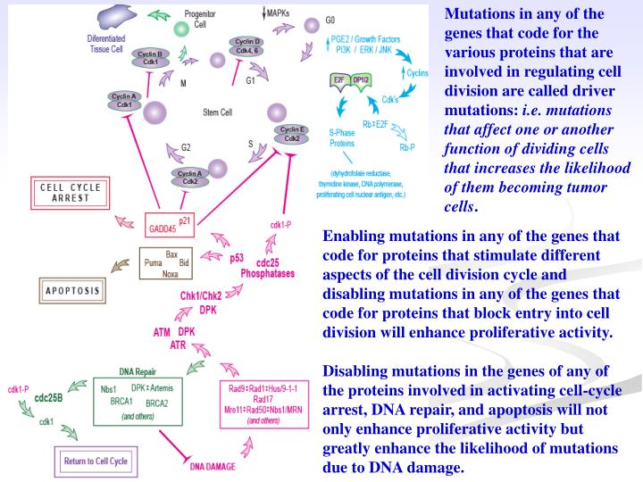 Mutations in any of the genes that code for the various proteins that are involved in regulating cell division are called driver mutations: