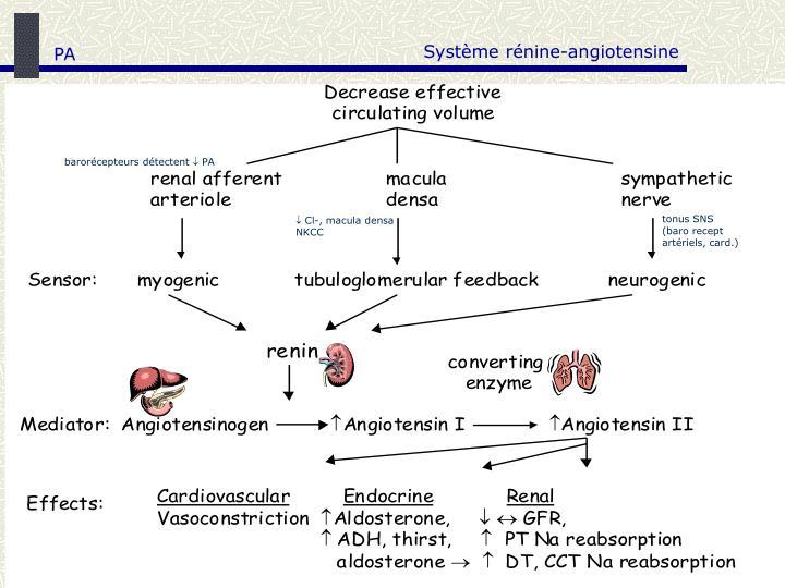 Système rénine-angiotensine