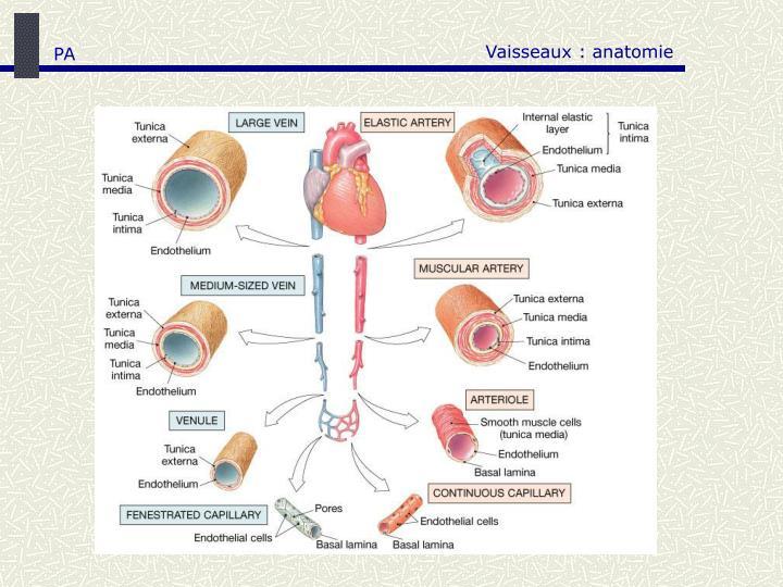 Vaisseaux : anatomie