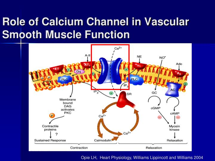 Role of Calcium Channel in Vascular Smooth Muscle Function
