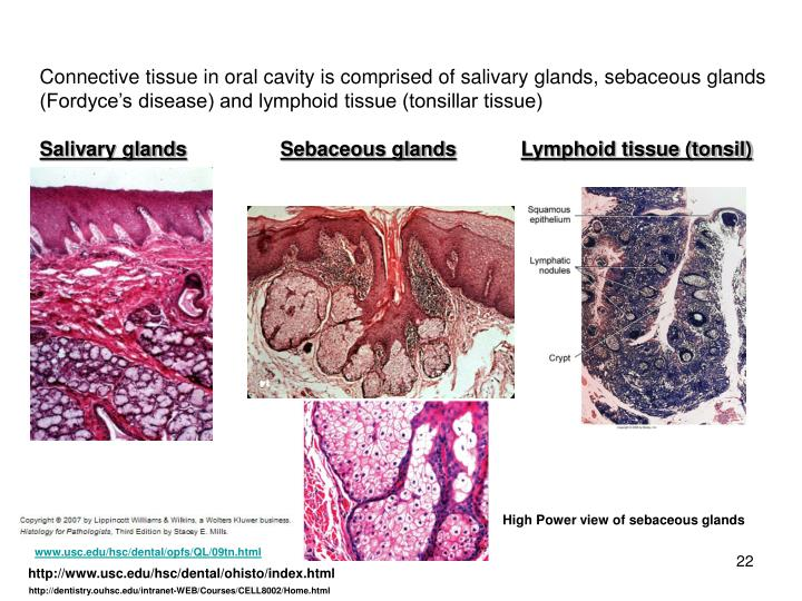 Connective tissue in oral cavity is comprised of salivary glands, sebaceous glands