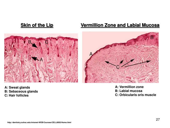 Skin of the Lip