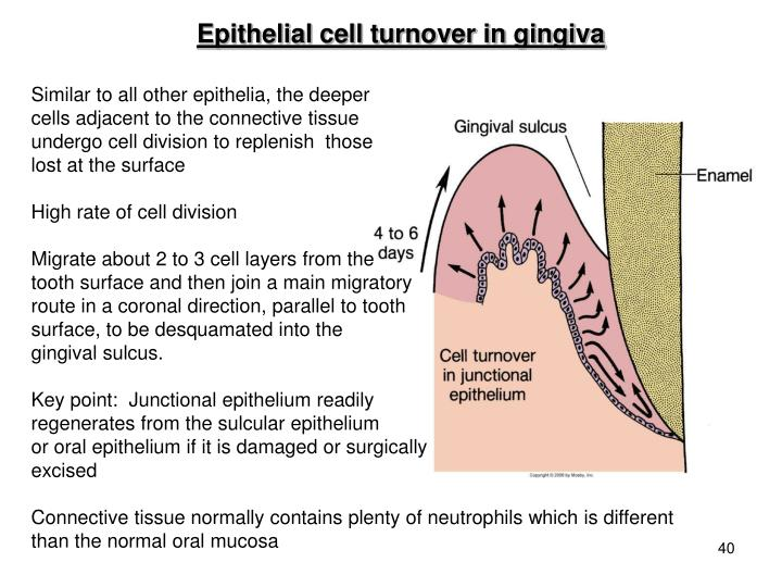 Epithelial cell turnover in gingiva