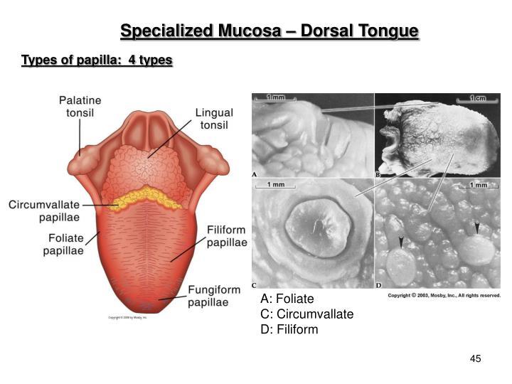 Specialized Mucosa – Dorsal Tongue
