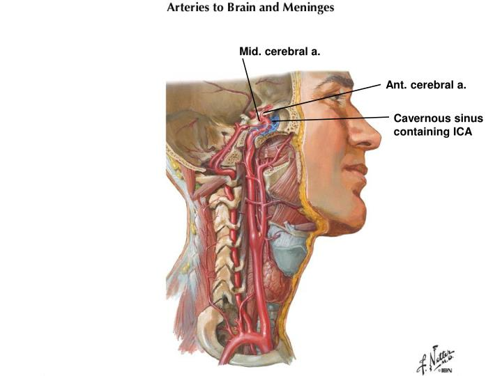 Ppt Dental Gross Anatomy Case 1 Cavernous Sinus Thrombosis