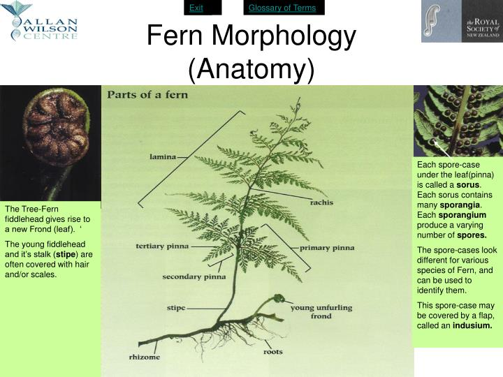 PPT - A New Zealand Tree Fern PowerPoint Presentation - ID:4631620