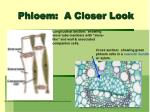 phloem a closer look
