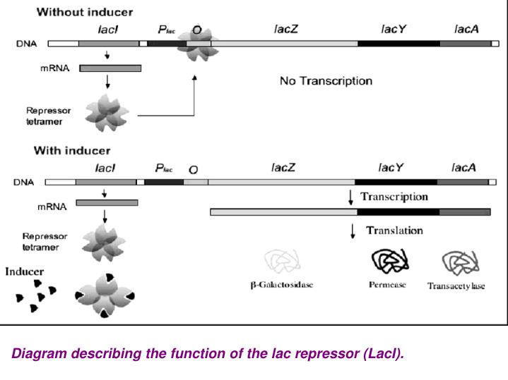 Diagram describing the function of the lac repressor (LacI).