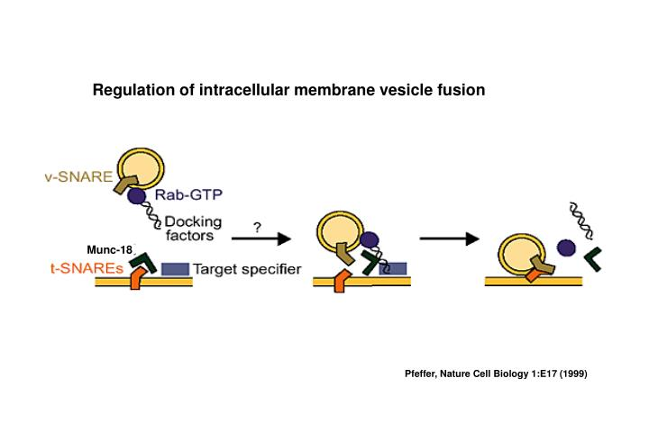 Regulation of intracellular membrane vesicle fusion