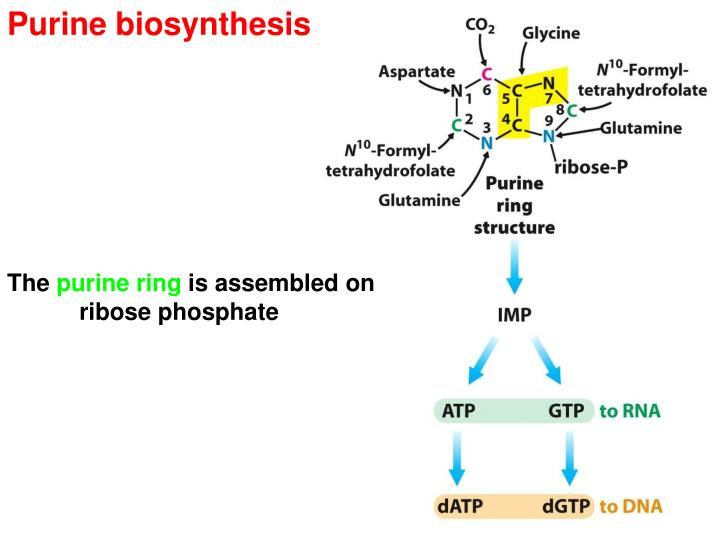 biosynthesis of purine nucleotides Purine de novo pathway • overall pathway shown in fig 273 • step 1—formation of prpp • branch point for both purines and pyrimidines • step 2—prpp + glutamine.