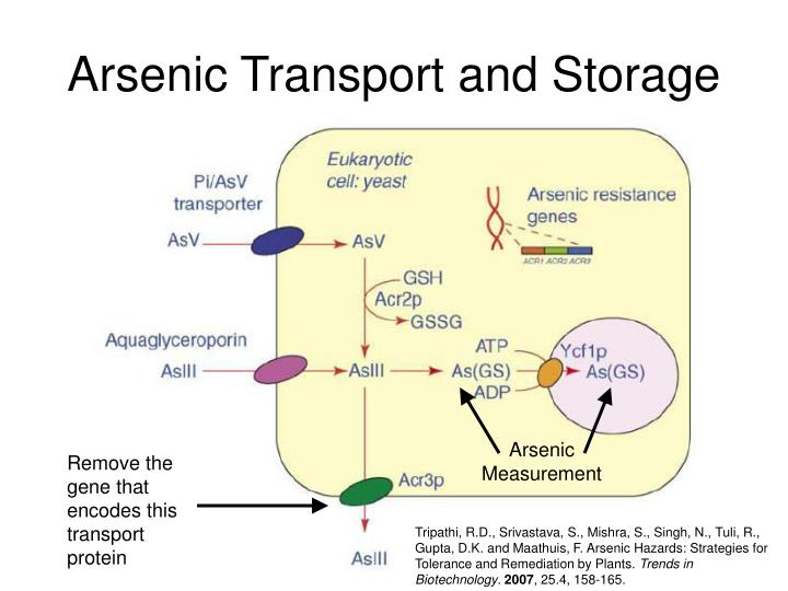Arsenic Transport and Storage