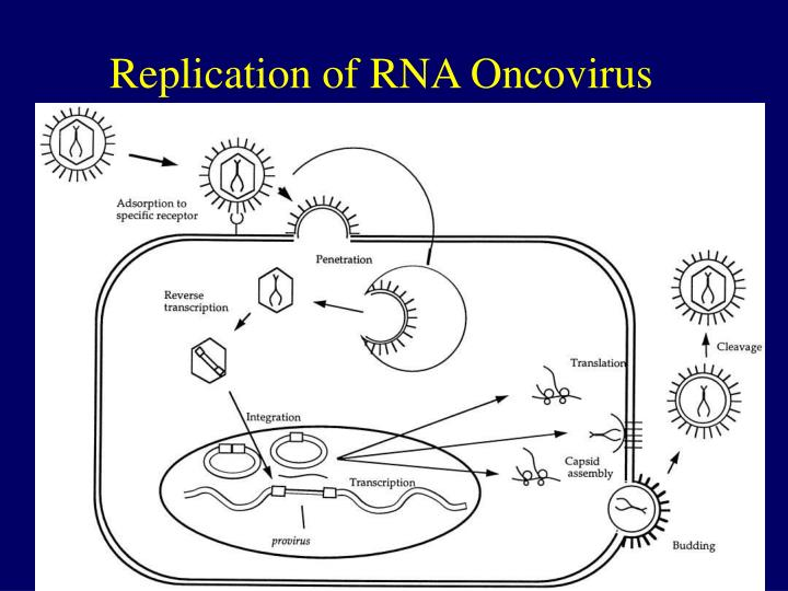 Replication of RNA Oncovirus