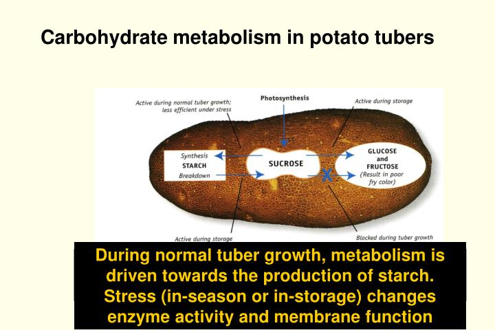 Carbohydrate metabolism in potato tubers