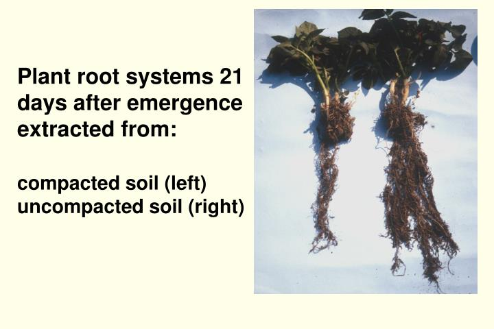 Plant root systems 21 days after emergence extracted from: