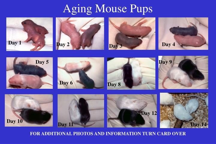 Aging mouse pups
