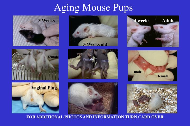 Aging mouse pups1
