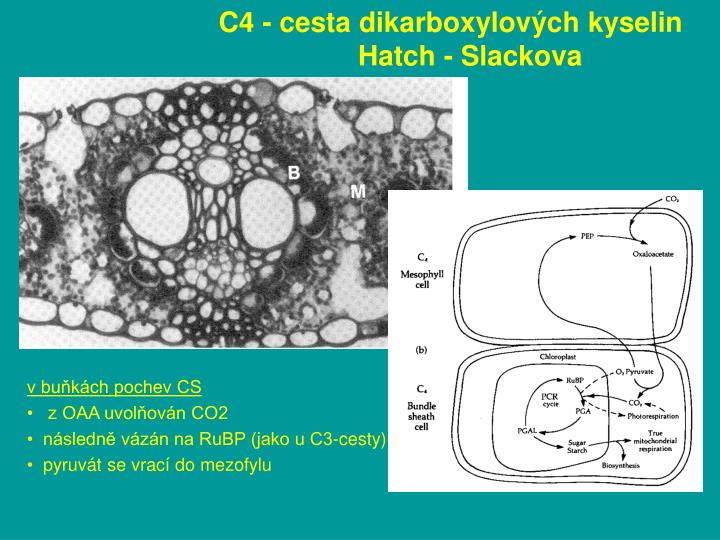 C4 - cesta dikarboxylových kyselin