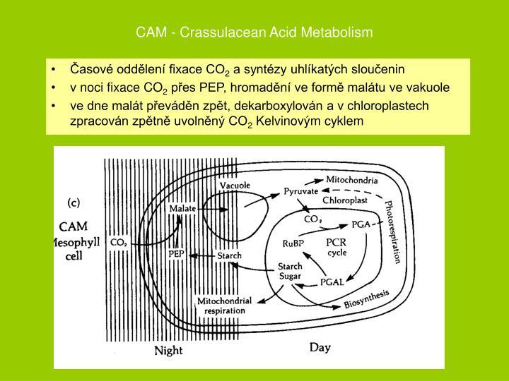 CAM - Crassulacean Acid Metabolism