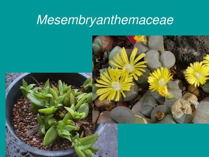 Mesembryanthemaceae
