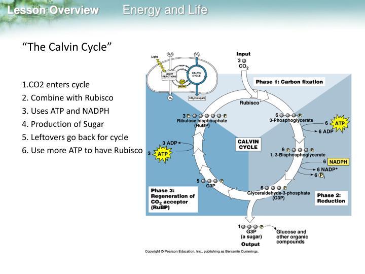 """The Calvin Cycle"""