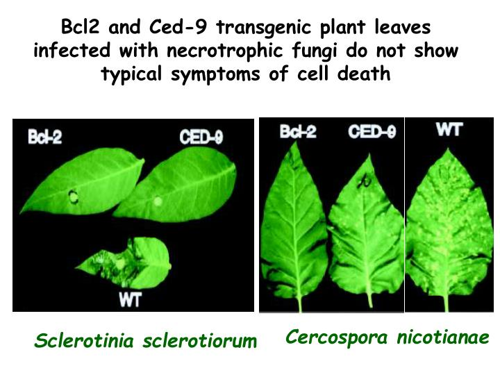 Bcl2 and Ced-9 transgenic plant leaves infected with necrotrophic fungi do not show typical symptoms of cell death