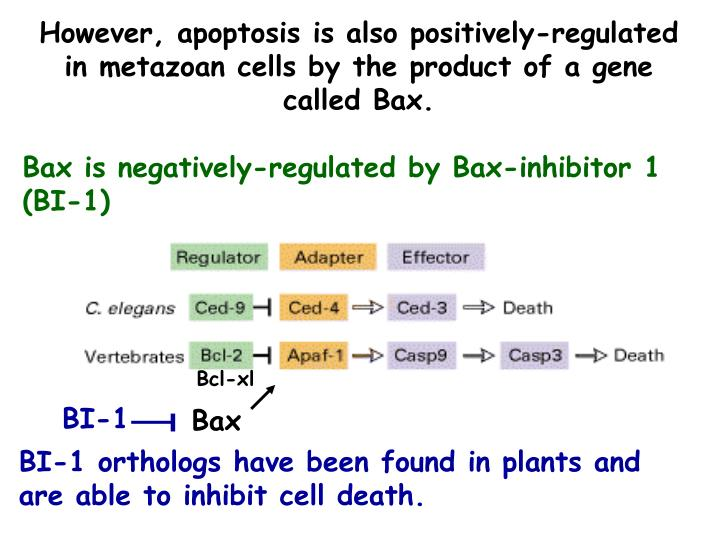 However, apoptosis is also positively-regulated in metazoan cells by the product of a gene called Bax.