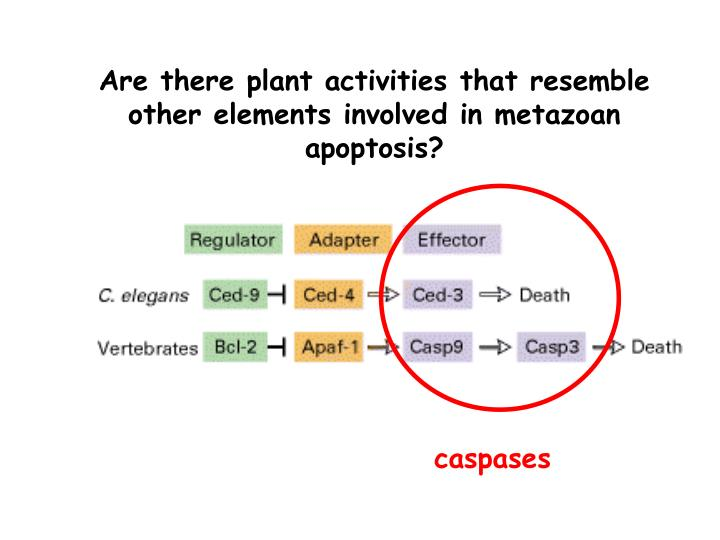 Are there plant activities that resemble other elements involved in metazoan apoptosis?